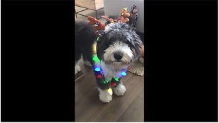 Wraggles the Dog gets into the holiday spirit