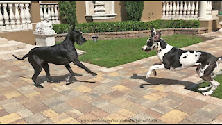 Happy Great Danes Enjoy Their Sunday Newspaper Fun Run