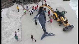 Stranded whale is rescued in Brazilian beach
