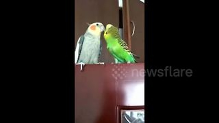 Mandarin-speaking parrot demands kiss from companion - Video