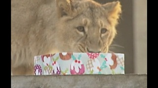 Animals Open Christmas Presents - Video