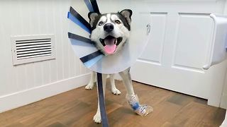 Poor Siberian Husky Got an Accident, Wearing a Cone for the First Time.  - Video