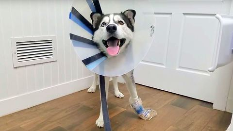 Poor Siberian Husky Got an Accident, Wearing a Cone for the First Time.