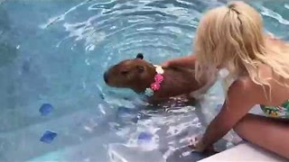 Capybara Dons a Flower Necklace and Takes a Dip in a Swimming Pool - Video