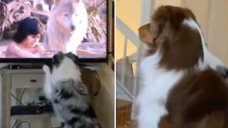 Aussie dogs have a great time watching their favorite movie