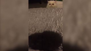 Jealous Cat Creeps Around The Bed - Video