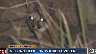 People want to get injured fox help near Patrick and Decatur - Video