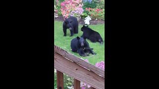 Black bear family play in back garden - Video