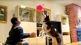 Cute Siberian Husky Max Enjoys Playing Balloons at Home  - Video