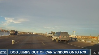 Dog tumbles from moving vehicle on I-70, escapes injury