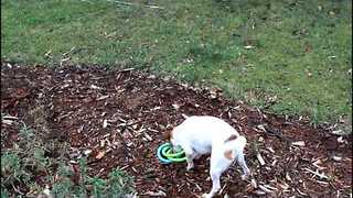 Jack Russell Entertains Himself With Ring Toys - Video