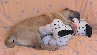 Shar Pei preciously sleeps with toy puppy - Video