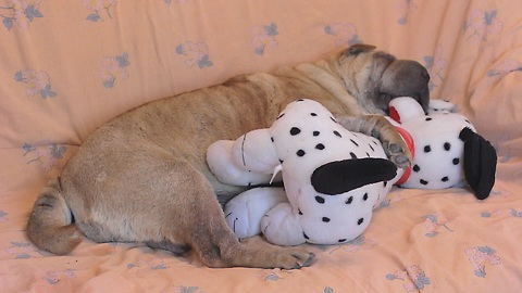 Shar Pei preciously sleeps with toy puppy