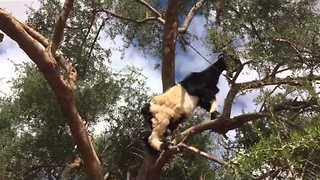 These Little Goats Love Climbing Trees - Video