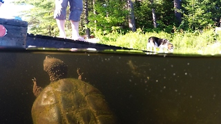 Beagle Gets Jealous When Snapping Turtle Gets His Treats