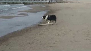 Skillful Collie Tries Out Skimboarding - Video