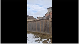 Curious Dog Bounces On A Trampoline To See Over The Wooden Fence - Video