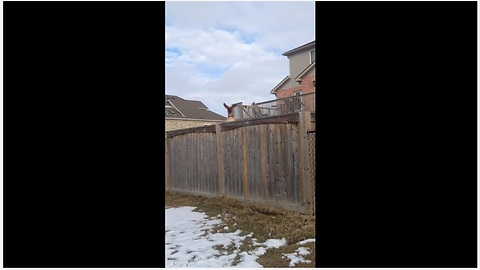 Curious Dog Bounces On A Trampoline To See Over The Wooden Fence