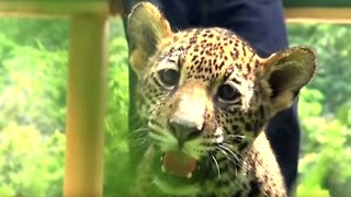 Cute Twin Jaguar Cubs Born in Mexico - Video