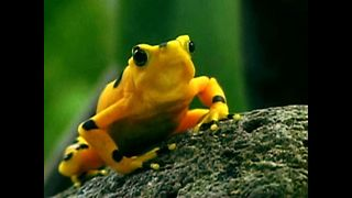 Rare Panamanian Frog Faces Extinction - Video