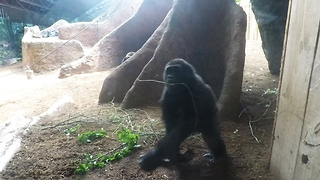 Gorilla baby and mother share tender moment - Video
