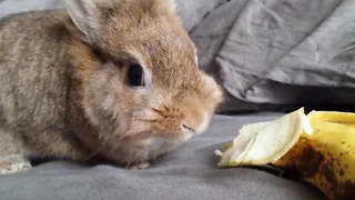 Simba the rabbit eating a banana