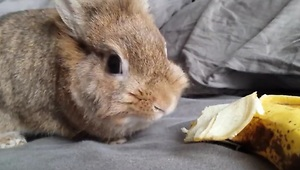 Simba the rabbit eating a banana - Video