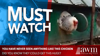 Video Of Chicken Is Going Viral. Once He's Fully Outside The Coop, You'll Understand Why