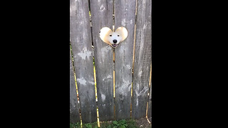Dog greets people in the cutest way possible
