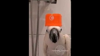 Pet Cockatoo Shows Monday Morning Routine - Video