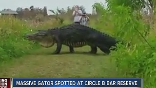 Massive gator spotted at Circle B Bar Reserve in Polk County - Video
