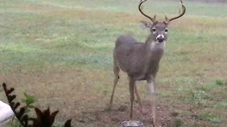 Beautiful Deer Enjoys Corn From His Dog Bowl  - Video