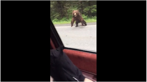 Brave Bear Decides To Charge After Car In The Middle Of Alaskan Road