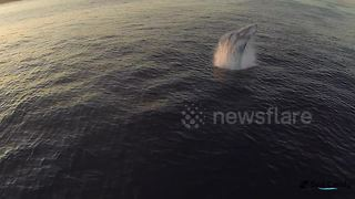 Drone captures awesome footage of whale breaching - Video