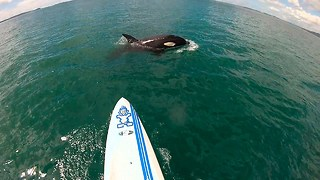 Paddle Boarder Gets Surprise Visit From Killer Whales - Video
