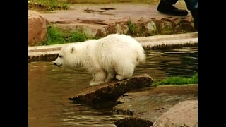 Polar Bear Play time - Video