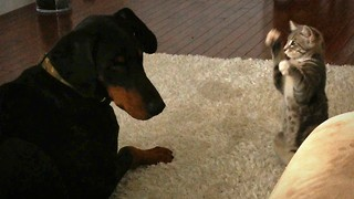 Cute Ninja Kitten Shows Doberman Pal Who's The Boss - Video