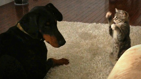 Cute Ninja Kitten Shows Doberman Pal Who's The Boss