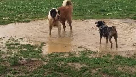 Dogs absolutely ecstatic to be playing in mud