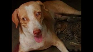 Dog Adopts Some Kittens - Video