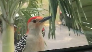 Friendly Woodpecker Knocks On Glass To Greet Neighbor