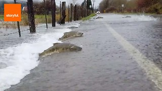 Salmon Swim Across Flooded Road - Video