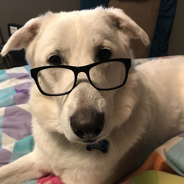 This dog chillin with reading glasses on is nothing short of hysterical