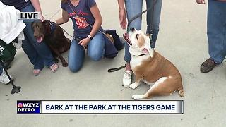 Bark in the Park at Comerica Park for the Detroit Tigers game - Video