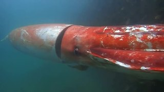 Giant squid drops by Japanese marina for Christmas - Video