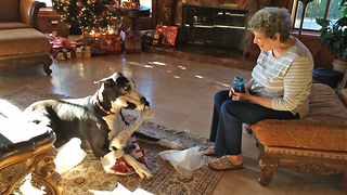 Great Dane unwraps and plays with Christmas gift - Video