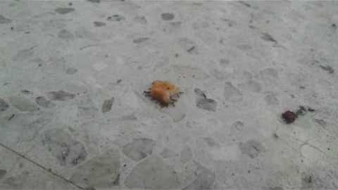 Ants Steal a Chicken Nugget