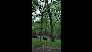Mama bear and cubs climb down backyard tree