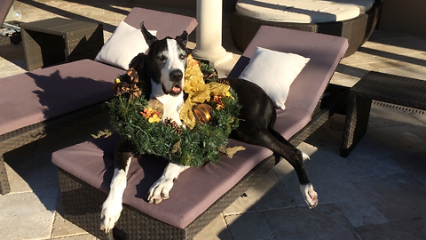 Festive Great Dane gets into the Christmas spirit