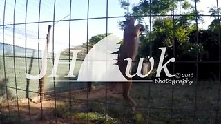 Check Out How High This Serval Cat Jumps For Its Dinner - Video